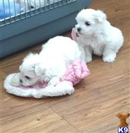 maltese puppy posted by simonsgob