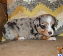Miniature Australian Shepherd Puppies for sale in Tennessee