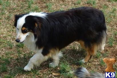 adult miniature australian shepherd Success