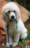 poodle puppy posted by sloveless240