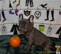 french bulldog puppy posted by snowann