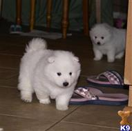 samoyed puppy posted by soniacarvalho