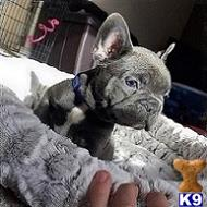 french bulldog puppy posted by soniamades