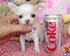 chihuahua puppy posted by sophiaabrielle