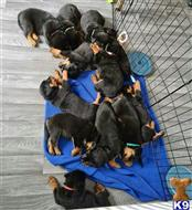 rottweiler puppy posted by sotozmarjorie