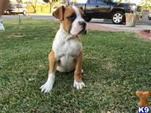 boxer puppy posted by southpaw22