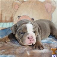english bulldog puppy posted by southpaw22