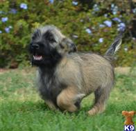 cairn terrier puppy posted by sspada