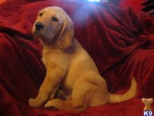 labradoodle puppy posted by standing613