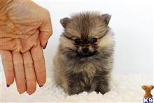 pomeranian puppy posted by staryorkie