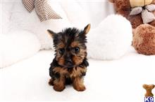 yorkshire terrier puppy posted by staryorkie