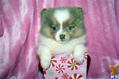 Pomeranian Puppies For Sale: Pomeranian Puppies For Sale Houston