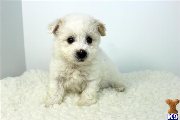 maltese puppy posted by staryorkie