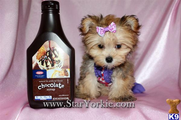 Mixed Breed Puppy For Sale Teacup Morkie Maltese Yorkie Mix Puppies