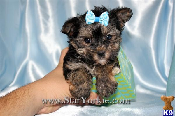 Teacup Morkie Maltese  Yorkie mix Puppies Available in Los Angeles 818- 757-7473