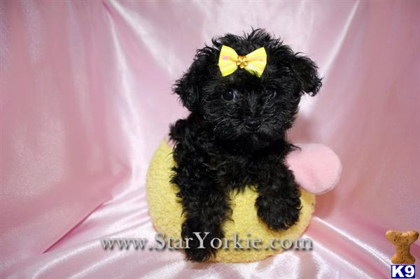 Mixed Breed Puppy For Sale Teacup Yorkipoo Yorkie Poodle Mix