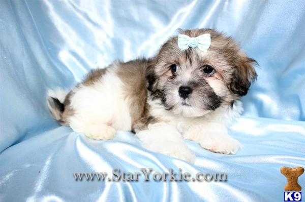 Toy Malshi Maltese  Shih-Tzu mix Puppies Available NOW around Laguna Beach, CA