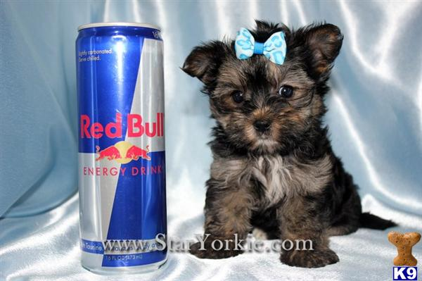 Mixed Breed Puppy For Sale Tiny Teacup Morkie Maltese Yorkie Mix