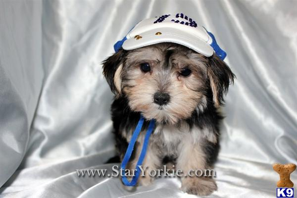 Tiny Male  Female Teacup Morkie Puppies Available in Woodland Hills, CA 91367