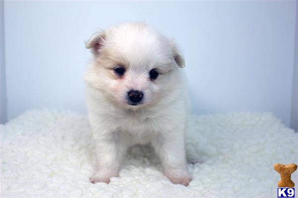 pomeranian california pomeranian puppies for sale in california 5904