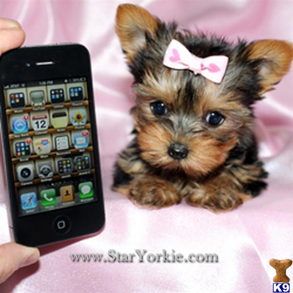 Yorkshire Terrier Dog for Sale: Tiny Teacup Yorkie Puppies