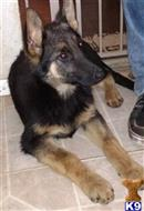 german shepherd puppy posted by steel_city_shepherds