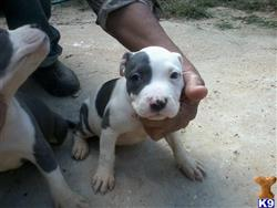 american pit bull puppy posted by stevedash