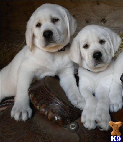 Puppies on Lab Puppies Beautiful Mellow Lab Puppies Our Registered Akc Labrador