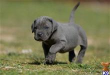 cane corso puppy posted by stonerlifas
