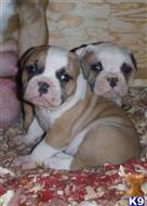 american bulldog puppy posted by strangesambulldogs