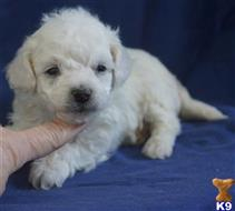 bichon frise puppy posted by sunnysidepuppies
