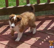 shetland sheepdog puppy posted by sunnysidepuppies