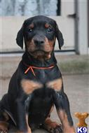 doberman pinscher puppy posted by superpup