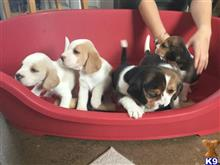 beagle puppy posted by susan237