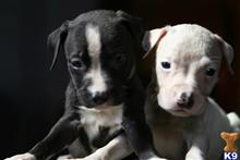 american pit bull puppy posted by sydesho