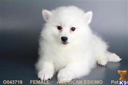 american eskimo dog puppy posted by sydneysdpuppy