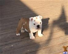 english bulldog puppy posted by syvianaomi
