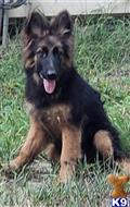 german shepherd puppy posted by t g