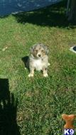 australian shepherd puppy posted by tactruong