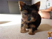 yorkshire terrier puppy posted by takor7478