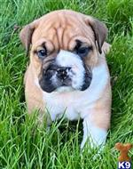english bulldog puppy posted by tankrtots