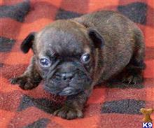 french bulldog puppy posted by tankrtots