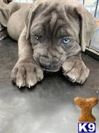 cane corso puppy posted by tbeghost