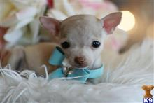 chihuahua puppy posted by tcuppuppiesforsale