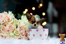 Chihuahua Puppies for sale in Florida
