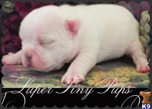french bulldog puppy posted by tcuppuppiesforsale