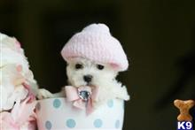 maltese puppy posted by tcuppuppiesforsale