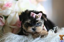 mixed breed puppy posted by tcuppuppiesforsale