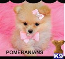 pomeranian puppy posted by tcuppuppiesforsale