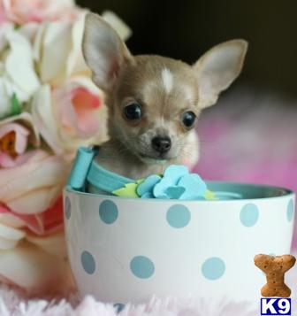 Chihuahua Puppy for Sale: FLORIDA-CUTEST CHIHUAHUAS ALL COLORS-WE